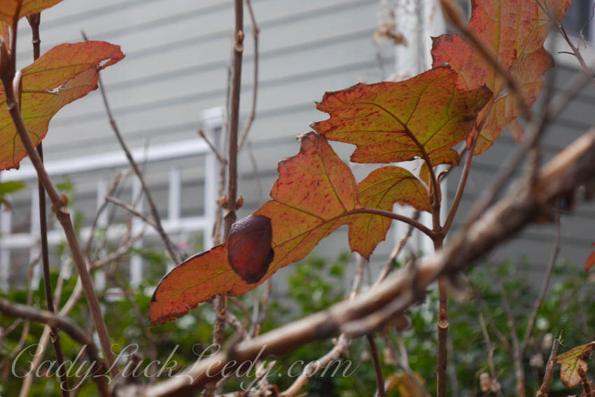 October Oak leaf Hydrangea