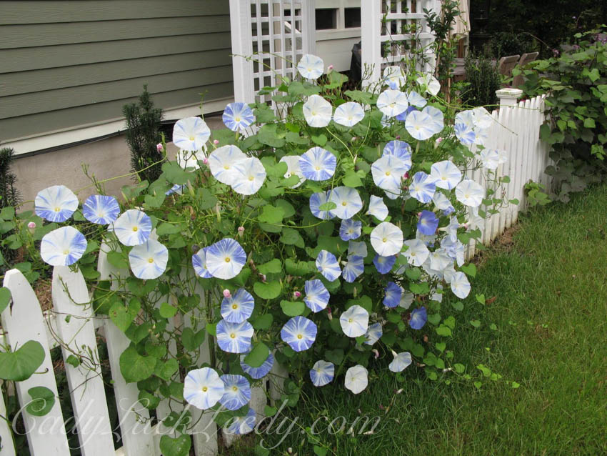 September Morning Glories